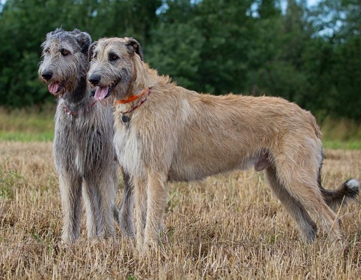 большие собаки: Ирландский волкодав. фото
