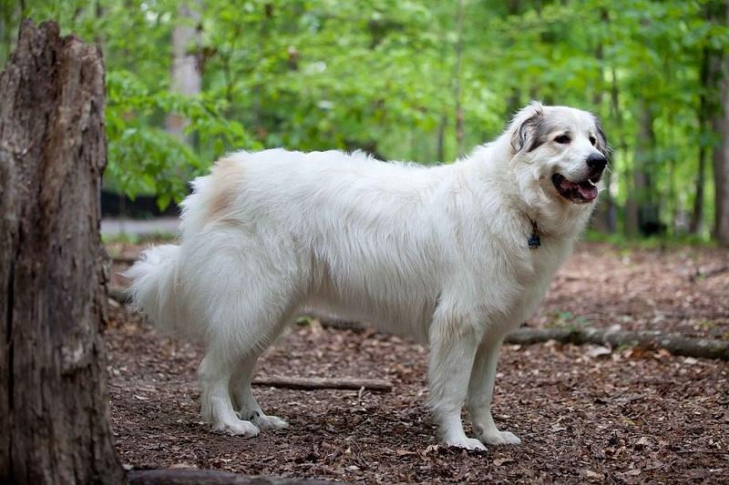 породы больших добрых собак: Пиренейская горная. фото