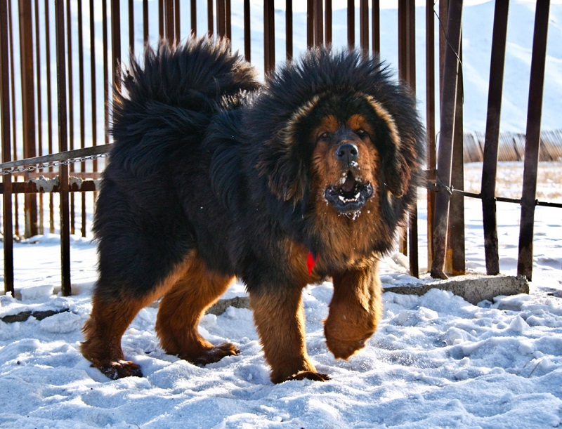 картинки больших собак: Тибетский мастиф