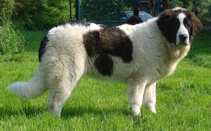 огромные породы собак: Пиренейский мастиф. фото