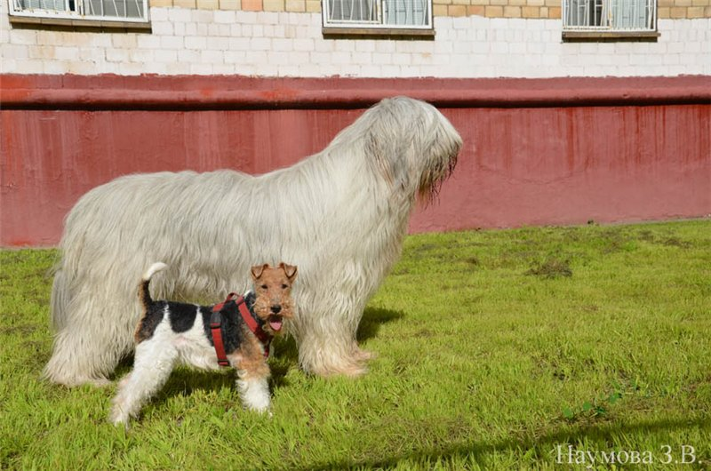 южнорусская овчарка и фокстерьер сравнение размеров пород собак