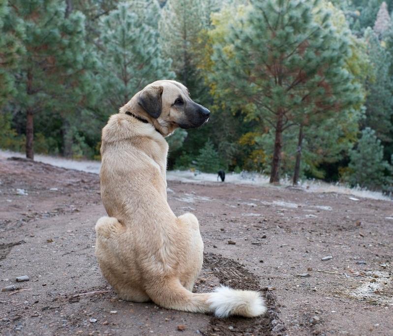 породы собак большого размера: Анатолийская овчарка (кангал). фото