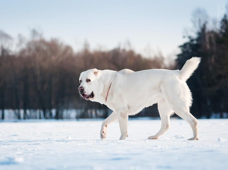 собака породы Среднеазиатская овчарка (туркменский волкодав, алабай). фото