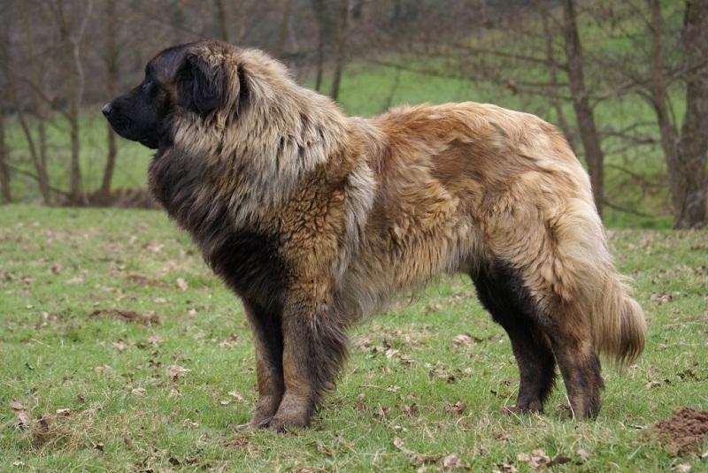 породы больших собак: Эштрельская (португальская горная) овчарка. фото