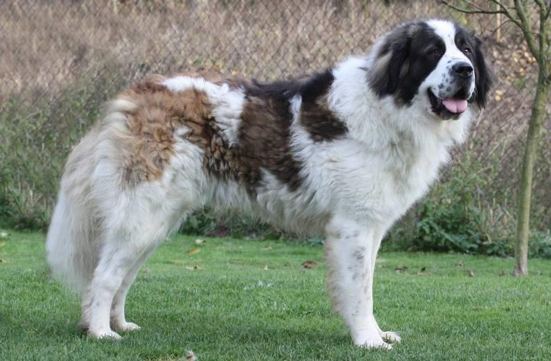 собака породы московская сторожевая фото