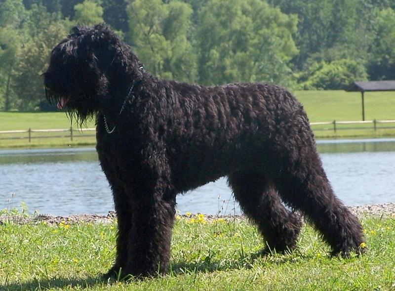 породы собак больших размеров: Русский чёрный терьер. фото