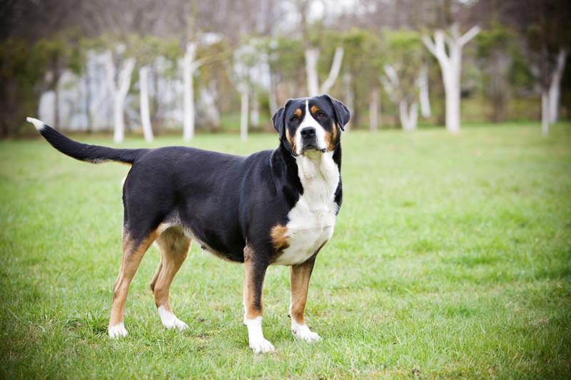 собака породы Большой швейцарский зенненхунд фото
