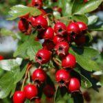 Одно из самых здоровых растений в мире, поможет предотвратить сердечный приступ и не только!