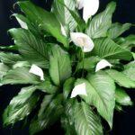 Народные приметы о цветке спатифиллум или женское счастье