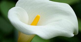 Этот магический цветок - символ и оберег супружеского счастья