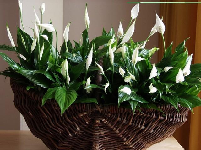 11 комнатных растений, которые принесут гармонию в ваш дом.