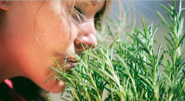 Розмарин - трава для мозгового кровообращения