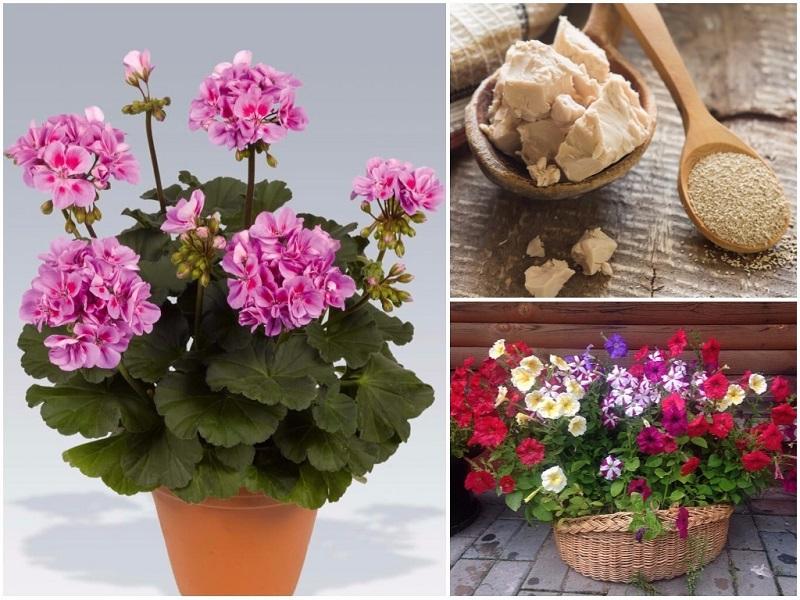 удобрения для комнатных цветов - дрожжи