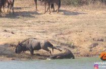 В южноафриканском парке Крюгера гиппопотамы пришли на помощь антилопе гну, попавшей в пасть к крокодилу