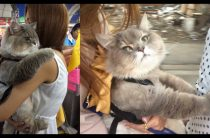 Огромный пушистый кот из Таиланда— стильный и ухоженный