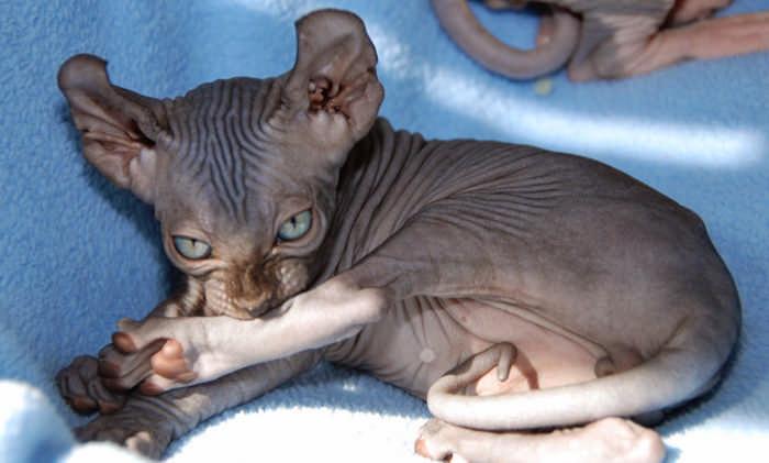 Самые дорогие породы кошек с фото. Ну и цены на пушистых!