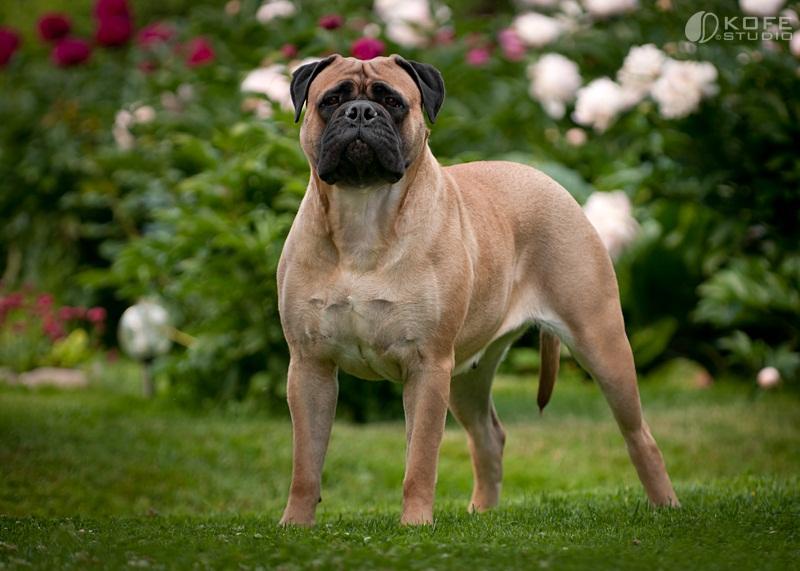 собаки больших пород: Бульмастиф фото