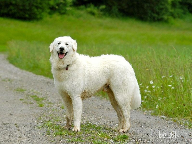 список больших пород собак: Кувас. фото