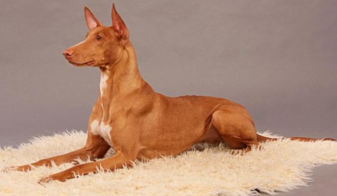 ТОП-20 самых дорогих пород собак