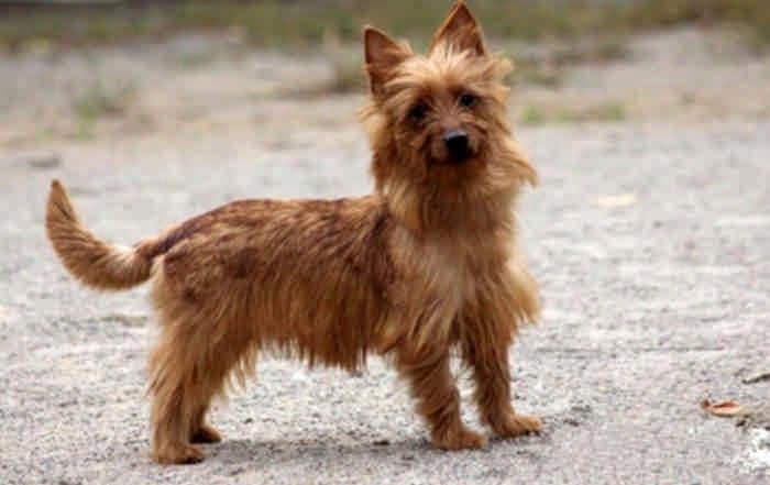 Порода собак австралийский терьер