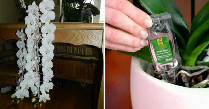 Всего одна деталь в уходе за орхидеями обеспечит их постоянное цветение! Все дело в особом виде подкормки!