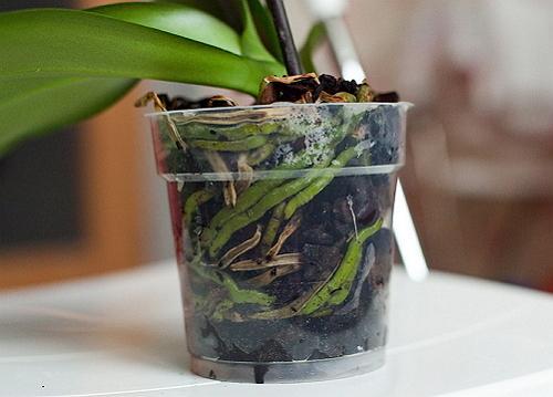 9 правил, чтобы твоя орхидея цвела круглый год
