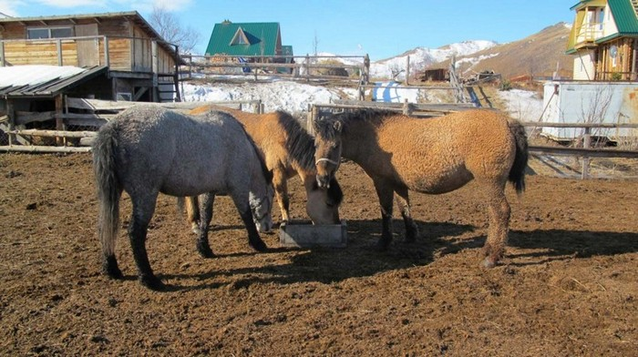 Кучерявая лошадь – это большая редкость!