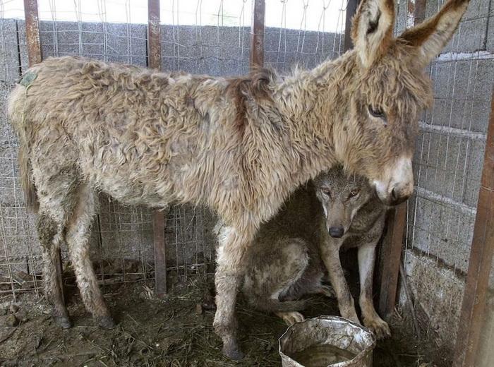 Старого ослика поместили в клетку к пойманному волку, чтобы накормить его. Но животные преподали урок всему человечеству!