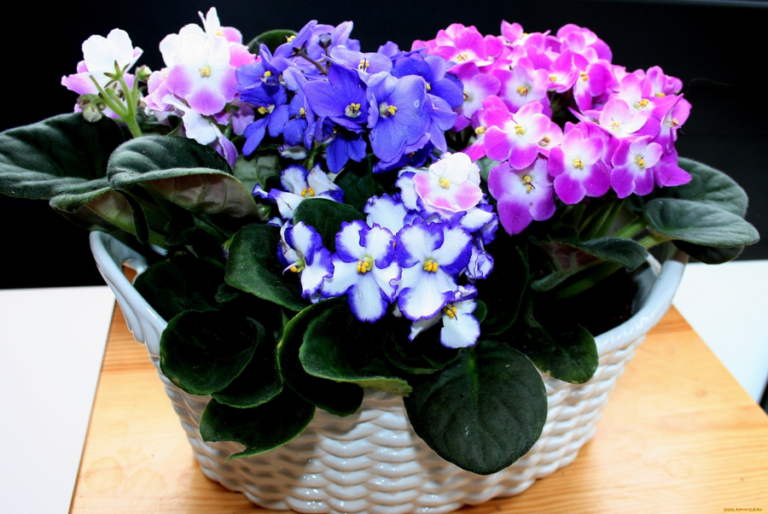 Правила шикарно-цветущей фиалки на подоконнике